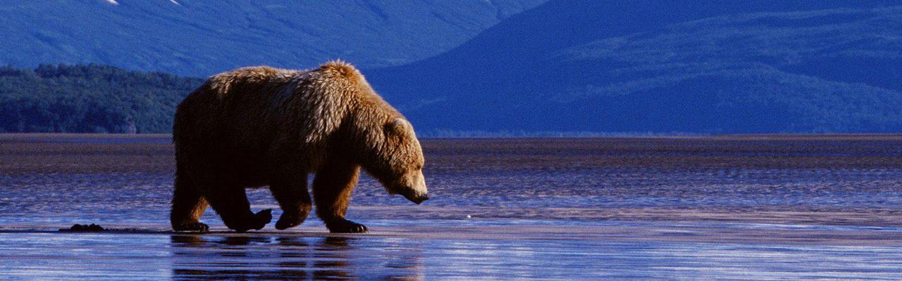 banner_bear